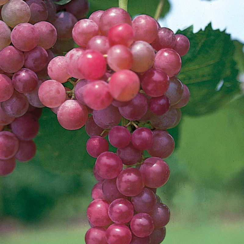 Flame Seedless Grape Vine, Most Common Variety of Red Grapes Found in Grocery Stores. Flame Is Often Used for Raisins.