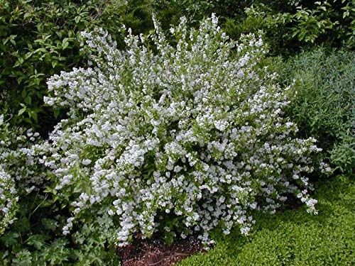 (1 Gallon) Deutzia Gracilis Slender is an erect and bushy deutzia that produces masses of fragrant white flowers in upright clusters for weeks in spring and early summer.