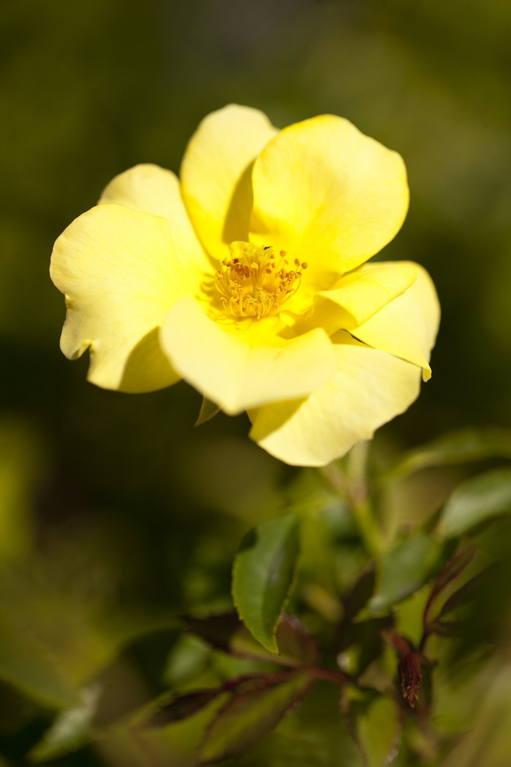 (1 Gallon) THRIVE LEMON ROSE, fragrant, beautiful yellow flowers, . The buds and flowers are yellow when they open and then gradually fade to white