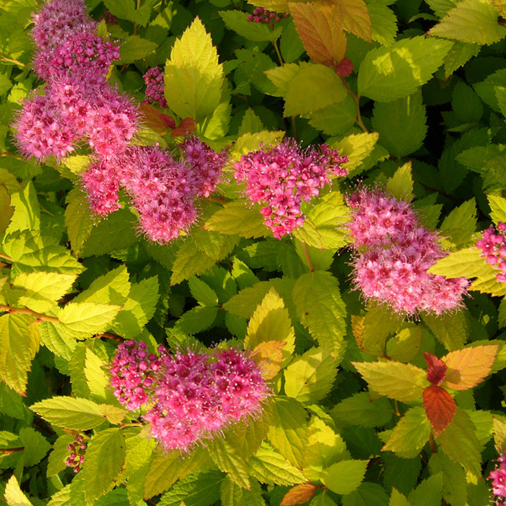 (Liner)    Spirea Magic Carpet ,(liner) wonderful dwarf, compact, dense shrub with clusters of gorgeous hot pink blooms, showy foliage.