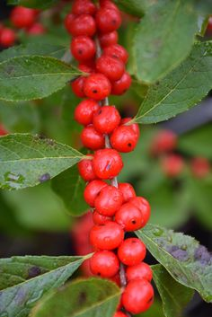 (1 Gallon) Red Sprite Winterberry is an extremely hardy, deciduous plant that produces a profusion of bright red berries.