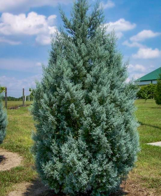 Carolina Sapphire, Aromatic, popular Christmas tree, showy silvery blue color foliage, Beautiful Plant. PIXIES_DUD