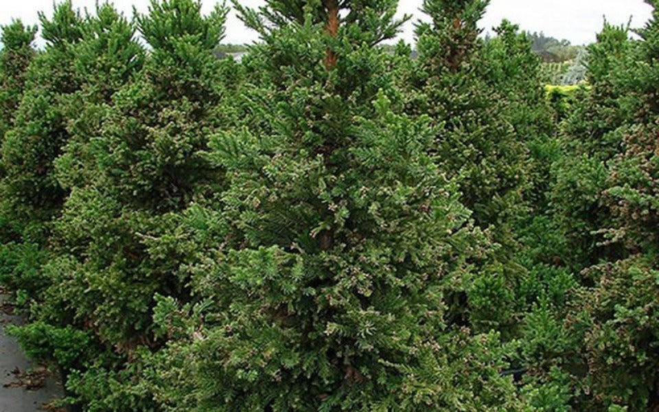 (3 gallon) Black Dragon Japanese Cedar-very dark-foliaged conifer, dark green needles become blackish green in winter. PIXIES_DUD