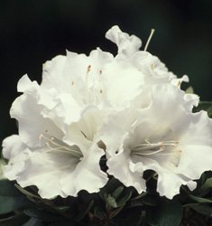 (1 gallon) Autumn Angel ENCORE AZALEA- Dwarf azalea, pure white blooms, Blooms in multiple seasons,
