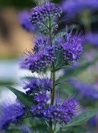 Dark Knight Caryopteris is a deciduous shrub that produces showy, fragrant deep blue blooms.
