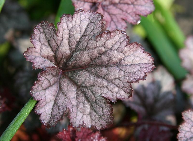 (1 Gallon Plant) Heuchera 'Amethyst Myst' CORAL BELLS, Evergreen, Amethyst colored leaves with overlay of silver-grey, prominent purple veining on leaf, small whitish flowers on sprays above foliage.(Hydrangeas, Viburnums, Japanese Maples, Dogwood Trees,