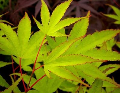 (1 Gallon) Beni Kawa Japanese Maple Tree- Popular maple is most known for its salmon-red bark & vibrant fall colors. In April, it creates small reddish-purple flowers of umbel blooms.