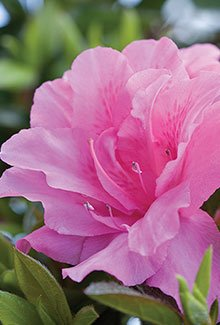Autumn carnation ENCORE AZALEA- Compact azalea, semi-double pink 3 inch flowers, Blooms in multiple seasons, Cold-hardy PIXIES_DUD