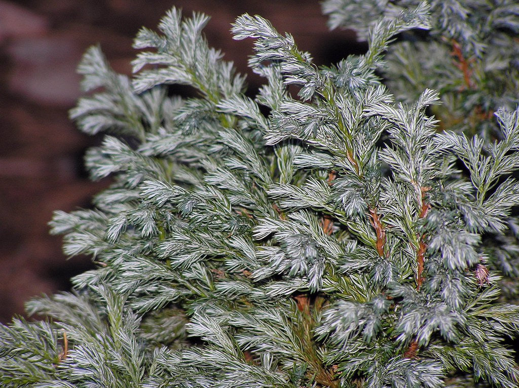 Chamaecyparis 'Boulevard- Produces gorgeous fine-textured medium green needles that are tinted white beneath. Appears glaucous (grayish-green or blue) green during summer.