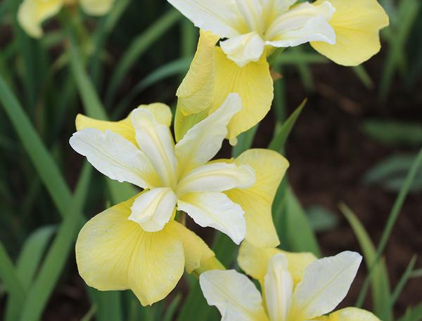 (1 Gallon) Butter & Sugar' Siberian Iris, Stunning Display of Butter Yellow and White Blooms. Upright Green Foliage with Yellow Falls Over White Standards, Blooms in Late Spring,