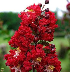 (1 Gallon) Double Dynamite Crape Myrtle- Brilliant cherry-red flowers and deep purple foliage that matures to a dark purple-green. Excellent use for upright landscaping and containers.