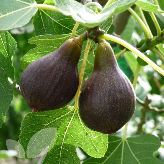 BROWN TURKEY Fig Tree, one of the tastiest and best growing varieties of figs, providing two crops of fruit per year.