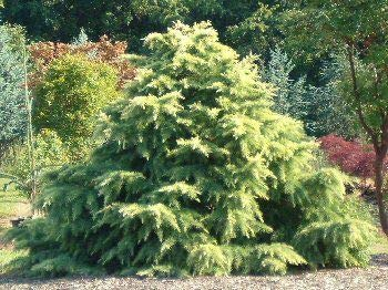 (1 Gallon) Silver Mist Cedar Conifer is evergreen, has a slow growth rate. Dwarf, mounding to conical habit.
