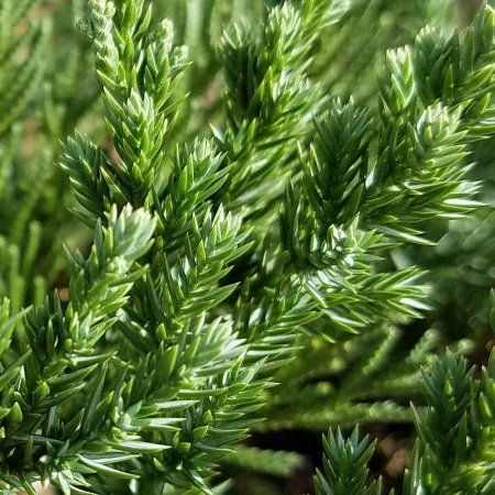 (1 Gallon) Parsoni Juniper, Evergreen, Low-Maintenance, Attractive Ground Cover, Easy To Grow,