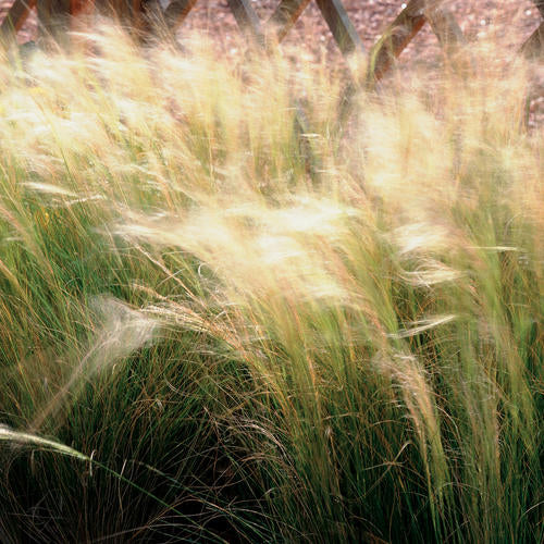 Quart Pot/10 count flat: Grass: Nassella (Stipa) tenuissima 'Pony Tails'.Mexican Feather Grass. Delicate thread-like green foliage with straw-colored, narrow seed heads, cool season grower, needs well drained soil. PIXIESDS_EGN