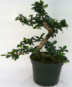 "(5"" Pot) Bonsai Fukien Tea Tree, Attractive Shape, Small White Flowers, Attractive Grey Bark"
