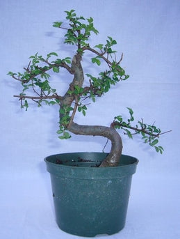"(5"" Pot) Bonsai, Zelkova, (Japanese Elm), Single-toothed, Ovate and Pointed, Leaves"