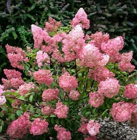 Strawberry Sundae Hydrangea, Delicious Creamy White Flowers That Turns Pink PIXIES_DUD