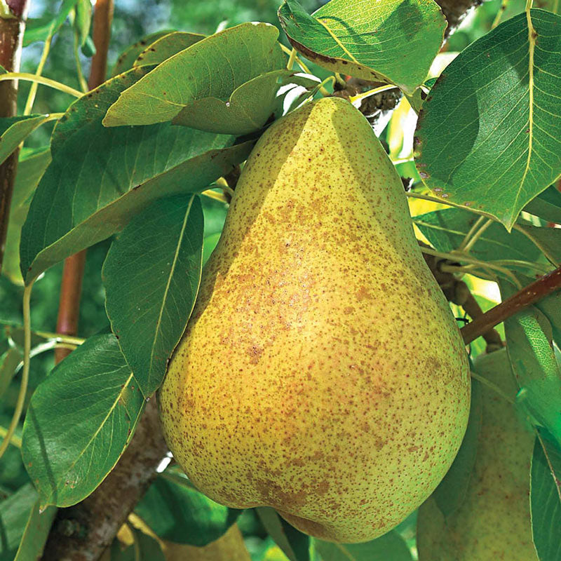 KIEFFER PEAR Tree, Fruit is Large in Size, Golden Yellow in Color, White Flesh, Crunchy, Sweet, and ripen mid-Season.