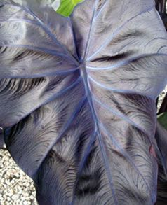 (1 Gallon) Black Coral Elephant Ear- Exquisite large, glossy, jet-black and purple foliage. Good use for borders or a Housing plants