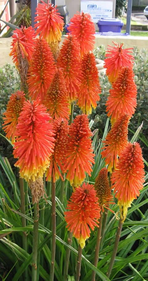 "Fire ""Red Hot"" Poker- Brilliant striking plant with attractive sword-shaped leaves that surrounds the base of a tall stem upon which red, yellow, or orange tubular flowers droops downwards."