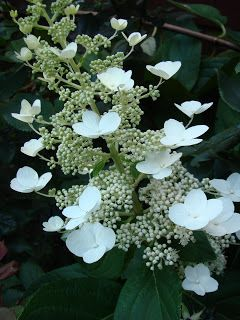 (1 Gallon) Chantilly Lace Hydrangea, sun loving and good for colder zones, specacular white large panicles with showy four-sepaled flowers; Their ivory color matures to a soft pink by fall