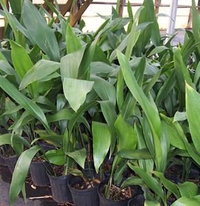 Aspidistra elatior Cast Iron Plant, Tough groundcover for low light, wide leaves with coarse texture, shade.