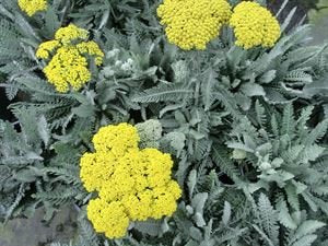 (1 Gallon) Achillea 'Moonshine' YARROW, Upright, feather gray foliage topped with sulfur yellow, flat-topped flower clusters, blooms summer to fall