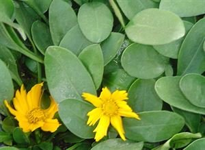 (1 Gallon) Coreopsis auriculata 'Nana', Tick-shaped, flat green leaves, bright yellow flowers, blooms spring to frost (with dead-heading), needs good drainage, spreads by stolons.
