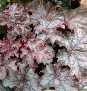 (1 Gallon) Heuchera 'Amethyst Myst' CORAL BELLS, Evergreen, Amethyst colored leaves with overlay of silver-grey, prominent purple veining on leaf, small whitish flowers on sprays above foliage. PIXIESDS_EGN