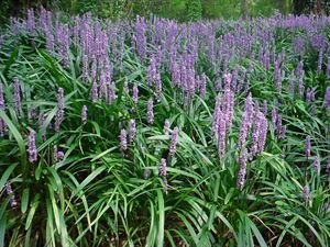 (1 Gallon) Liriope muscari 'Big Blue' MONKEY GRASS,(GROUND COVER),The most well known variety of Liriope, deep green foliage, lilac flower spikes PIXIES_DUD