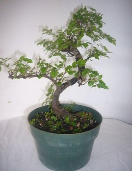 "(5"" Pot) Bonsai, Sweet Plum, (Flowering), Very Popular As Bonsai Tree, Small Pink-white Flowers"