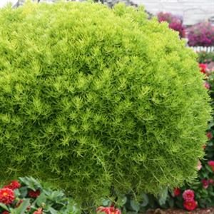 "(10 count flat 4.5"" pots)  Sedum rupestre 'Lemon Ball' Stonecrop, Needle-like yellow foliage turns chartreuse during the season and bronze in winter."