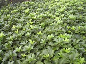 "(18 count flat 3.5"" pots) Pachysandra terminalis, Japanese Spurge, Matte green leaves on creeping stems, spreads by rhizomes, good plant for cool weather PIXIESDS_EGN"