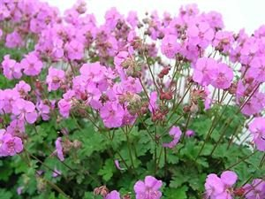 (1 Gallon) Geranium x cantabrigiense 'Karmina' CRANESBILL, Aromatic, evergreen foliage turns red in the fall, supports masses of deep rose flowers