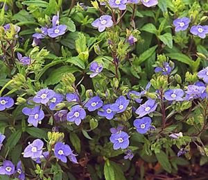 "(10 count flat 4.5"" pots) Veronica peduncularis 'Georgia Blue' Speedwell, (GROUND COVER), Dark green lacy foliage, bronze in fall and winter, blue flowers early spring until June. Light foot traffic PIXIESDS_EGN"