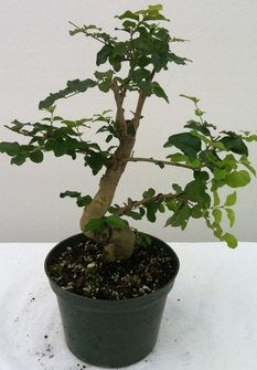 "(5"" Pot) Bonsai, Ligustrum Privet, (Flowering), Great for Beginners. Thick, Strong Trunk."