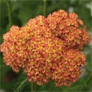 (1 Gallon) Achillea millefolium 'Desert EveTM Terracotta' YARROW, Clusters of long-blooming, orange-brown flowers on upright stems rise from low mounds of fernlike foliage. Heat and humidity tolerant.