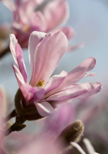 Leonard Messel Magnolia- Gorgeous magnolia that produces bi-colored, flowers on bare stems with star magnolia-like blooms that has rosy-purple undersides and crisp white topsides. PIXIES_DUD