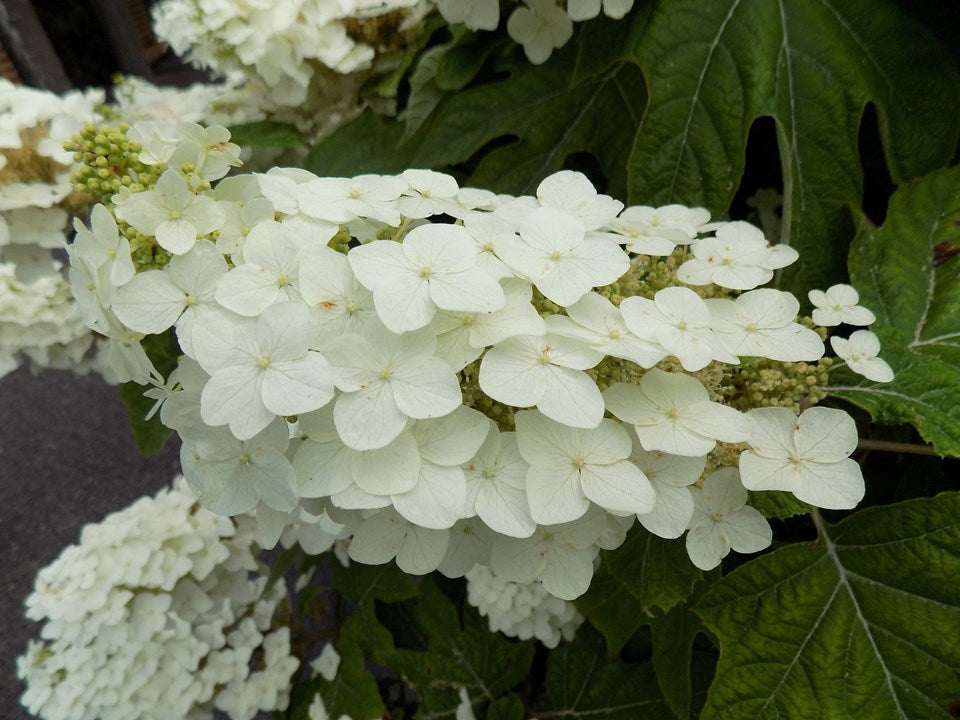 Pee Wee Oakleaf Hydrangea-Gorgeous dwarf mounded oakleaf that matures to only 3-4' tall and to 3-4' wide