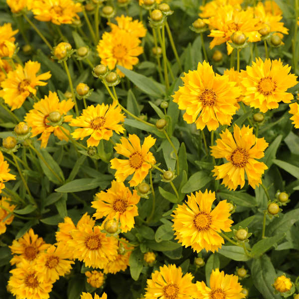 1 Gallon Pot: Coreopsis x 'Jethro Tull' PP18789. Hybrid Tickseed. Broad golden fluted petals over compact foliage, fast growing, blooms in summer. PIXIESDS_EGN