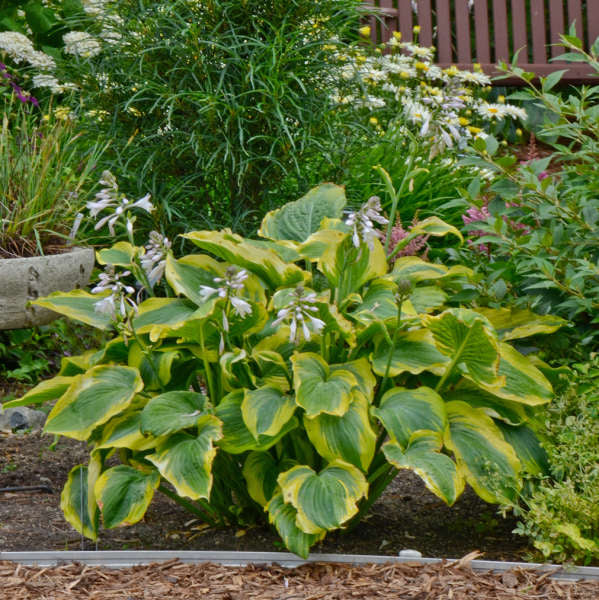 1 Gallon Pot: Hosta Shadowland® 'Seducer' PP22413. Plantain Lily. Large, dark green leaves with wavy gold edges and an upright vase shape; near-white flowers in summer.
