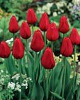 (Pack of 10 BULBS),    TULIP KINGSBLOOD  Gorgeous, Deep Red Blooms with a Scarlet Edge. Very Tall, French Tulip. Late Bloomer.