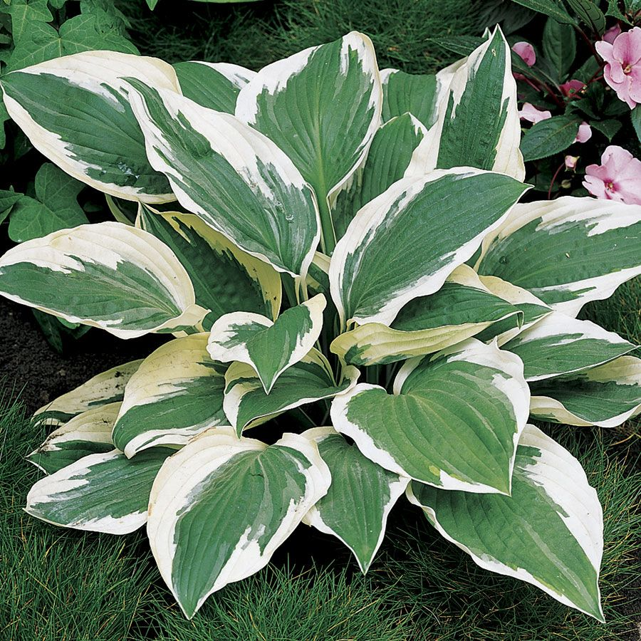 (1 Gallon) Patriot Hosta- Strinkingly beautiful Hosta with dark green centers and outstanding, crisp white, streaked margins; tall flower scapes, and broad, coarse leaves. PIXIESDS_EGN PIXIES_DUD