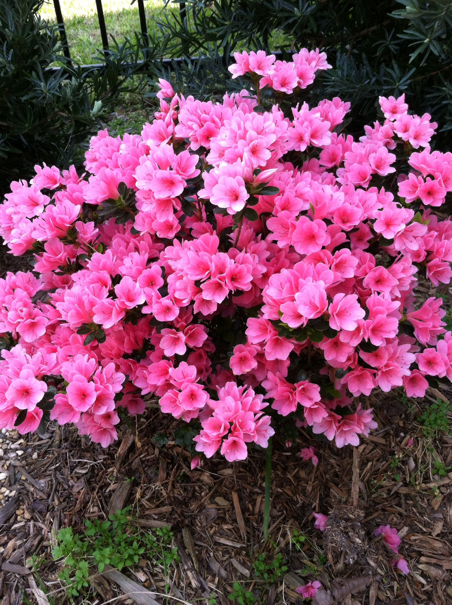 (2 gallon) 'CORAL BELLS' Azalea plants, short azalea, with lots of coral pink flowers with pink centres
