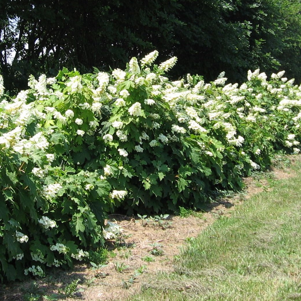 ALICE OAKLEAF HYDRANGEA- GORGEOUS NATIVE PLANT, HUGE OAK LIKE LEAVES, STRIKING WHITE PANICLE SHAPED FLOWERS PIXIES_DUD