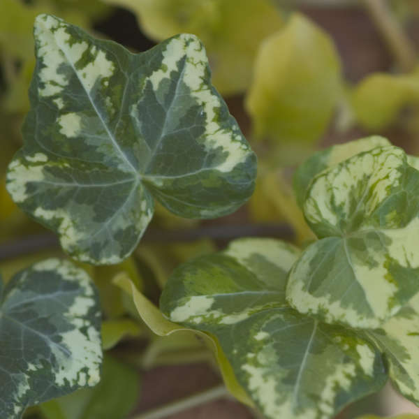 "4""Round Pot/10 Count Flat: Hedera helix 'Golden Ingot' Ivy. Variegated Ivy. Evergreen foliage with a bright yellow center. 2003 Ivy of the Year."