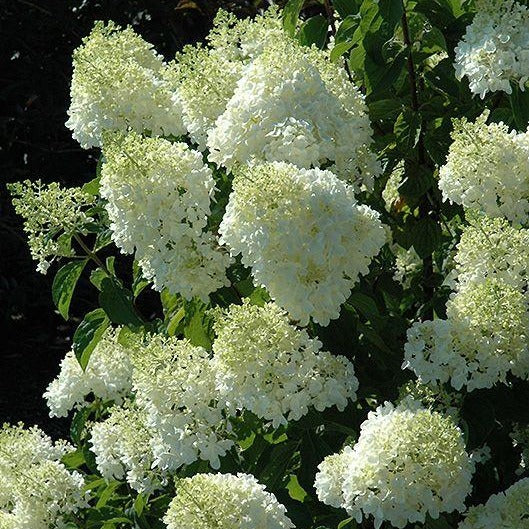 LIMELIGHT HYDRANGEA - The Most Cold Hardy Hydrangea. Large Dense, Elegant Cone Shaped Panicles of Cool Green that Change to Pink and Soft Red In Fall.