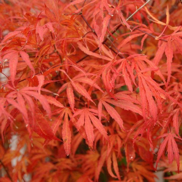 Beni Shi En Japanese Maple Green-Red With A Creamy Variegation Fall Colors On This Tree Are Bright Oranges To Reds