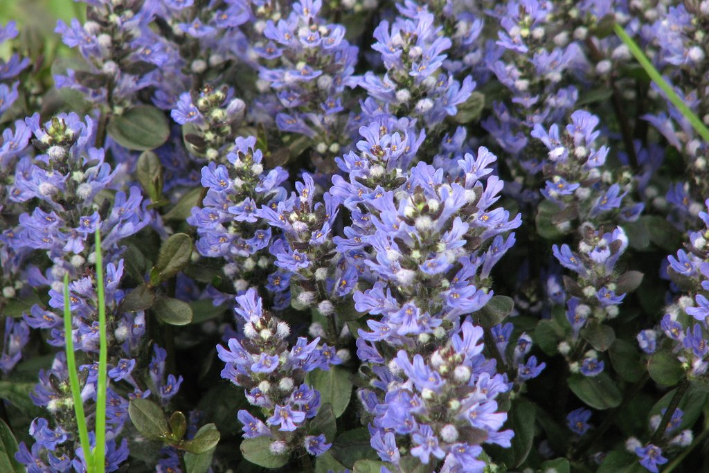 DPL - (18 Count Flat of 3.5) 'Chocolate Chip Ajuga, (Carpet Bugle, Bugleweed) Blue Flowers Above Dense Foliage of Small, Elongated, Overlapping Leaves of Green and Chocolate, Fast Growing and Spreading PIXIESDS_EGN
